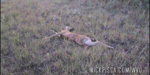 Hit a Deer West of Moose Jaw